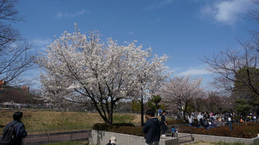 図書館前の桜in光が丘公園