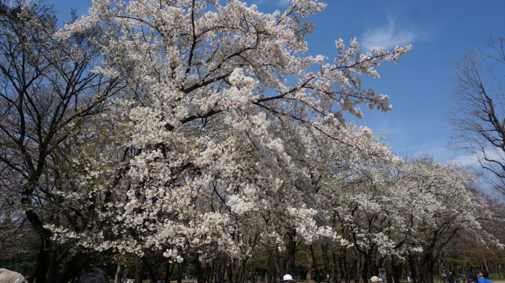 芝生広場の桜in光が丘公園
