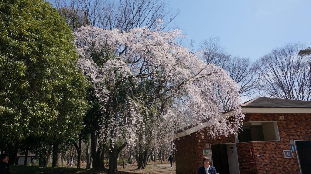 枝垂れ桜in光が丘公園