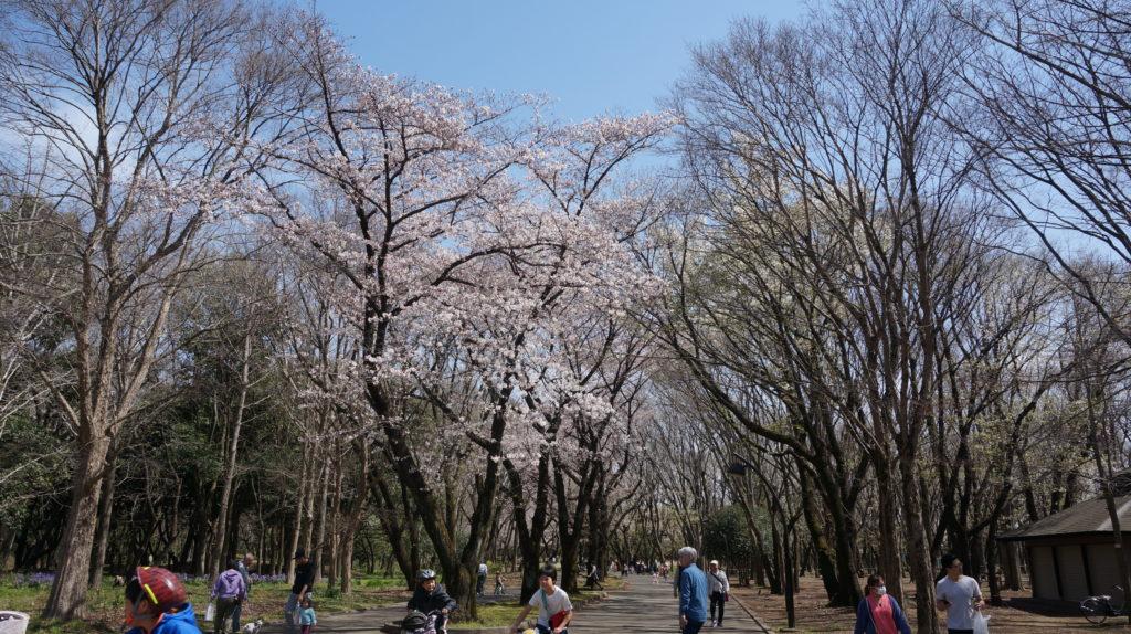桜並木in光が丘公園