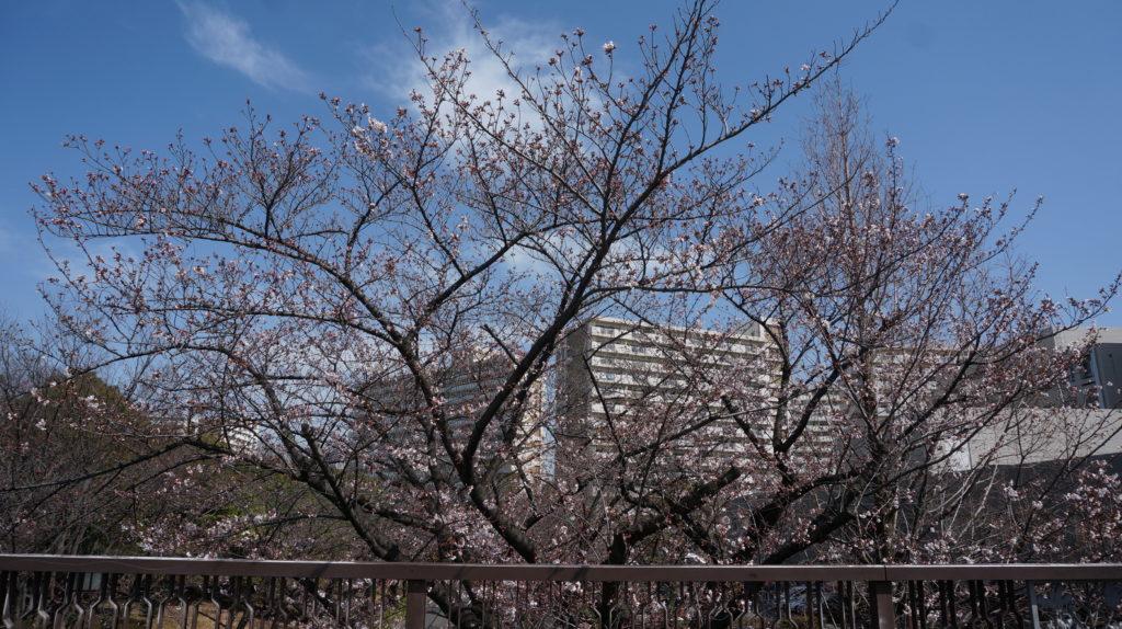 ふたご橋の桜in光が丘公園